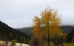 Härligt gult träd i bergen Arkivbilder