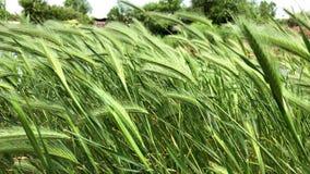 Härligt högt gräs, grön växt som blåser på vinden stock video