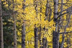 Härligt höstlandskap av den vita björken fotografering för bildbyråer