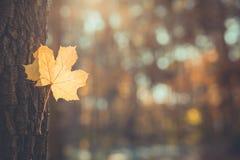 Härligt höstlandskap med gula träd och solen Färgrik lövverk i parkera Fallande naturlig bakgrund för sidor royaltyfria foton
