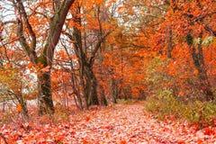 Härligt höstlandskap med linjen av träd och och en väg i parkera, Skottland arkivfoton