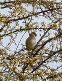 Härligt hawfinchsammanträde på det blommande trädet på våren Royaltyfria Bilder