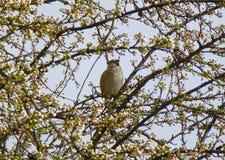 Härligt hawfinchsammanträde på filialen av ett blommande träd på våren Royaltyfri Bild