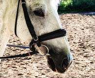 Härligt huvud av en vit häst se fundersam Arkivfoto