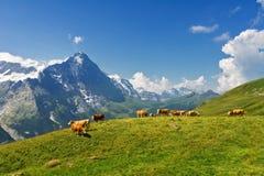 Härligt idylliskt alpint landskap med kor, fjällängberg och bygd i sommar Arkivfoton