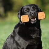 Härligt innehav för labrador retriever en toy Royaltyfria Bilder