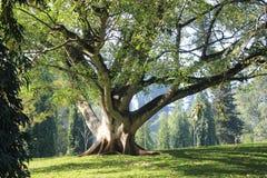Härligt jätte- träd Royaltyfri Fotografi