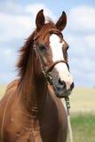 Härligt kastanjebrunt warmbloodanseende på grönt fält Royaltyfri Foto