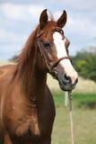 Härligt kastanjebrunt warmbloodanseende på grönt fält Royaltyfria Foton