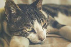 härligt kattclosehusdjur upp royaltyfria bilder