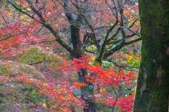 Härligt Kawazu körsbärsrött blomma, första blomma i Japan Royaltyfria Bilder