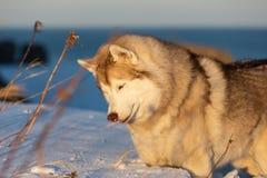 Härligt, klokt och fritt siberian skrovligt hundanseende på kullen i det vissna gräset på solnedgången på havsbakgrund royaltyfri bild