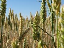 Härligt kornfält med stora grova spikar av intensiv färg royaltyfri fotografi