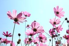 Härligt kosmos blommar att blomma i himmel Royaltyfri Fotografi