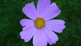 Härligt kosmos blommar på blomsterrabatten close upp lager videofilmer