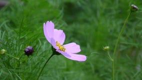 Härligt kosmos blommar på blomsterrabatten close upp stock video