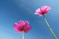 Härligt kosmos blommar på himmelbakgrund Royaltyfri Bild