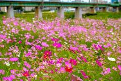 Härligt kosmos blommar under sommarsäsong i Gyeongju stadsnolla royaltyfri fotografi