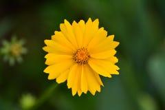 Härligt kosmos för lösa blommor på en solig sommardag fotografering för bildbyråer