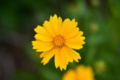 Härligt kosmos för lösa blommor på en solig sommardag arkivfoto
