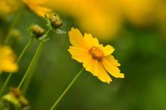 Härligt kosmos för lösa blommor på en solig sommardag royaltyfri fotografi