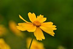 Härligt kosmos för lösa blommor på en solig sommardag arkivfoton
