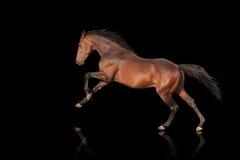 Härligt kraftigt galoppera för hingst Häst på en svart bakgrund Fotografering för Bildbyråer