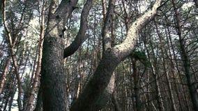 Härligt krokigt träd i skogen arkivfilmer