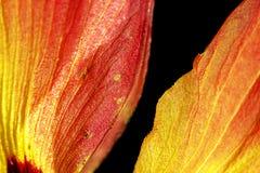 Härligt kronblad på svart bakgrund Arkivfoto