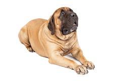 Härligt lägga för mastiffhund Arkivbilder