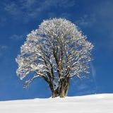 Härligt lönnträd royaltyfria foton