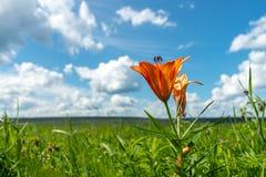 Härligt löst blommande orange växa för liljablommor i grönt gräs på blå bakgrund för molnig himmel Färgrikt blom arkivbild