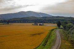 Härligt landskap av det gula risfältfältet i den hokkaido japaen royaltyfri fotografi