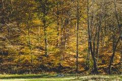 Härligt landskap av en skog mycket med björkträd i höst royaltyfri fotografi