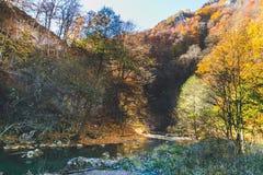 Härligt landskap av en skog mycket med björkträd i höst royaltyfri foto