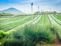 Härligt landskap av lantgården för grönt te Royaltyfri Bild