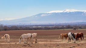 Härligt landskap, flock av fullblods- vita, gråa bruna hästar som betar i ett fält, i bakgrundssnöbergen royaltyfri fotografi