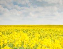 Härligt landskap med det gula rapsfröfältet Royaltyfri Foto