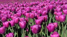 Härligt landskap med kulöra tulpan i ett fält i Holland (avkoppling, meditation, spänningsförminskning - begrepp) stock video