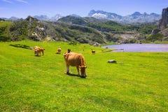 Härligt landskap med sjön och kor Arkivbilder