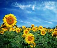 Härligt landskap med solrosfältet över molnig blå himmel Fotografering för Bildbyråer