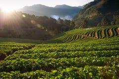 Härligt landskap, och nya jordgubbar brukar i vinter på Chiangmai royaltyfri fotografi