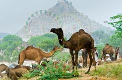Härligt landskap på den Pushkar kamelmässan, Rajasthan, Indien Arkivbild