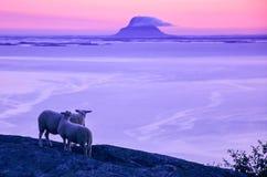 Härligt landskap på skymningen, får på klippan som ser havet och de lilla öarna i nordliga Norge, Skandinavien, Europa Arkivfoto