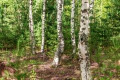 Härligt landskap - sommarbirchwood Fotografering för Bildbyråer