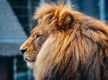Härligt lejon i en bur royaltyfria bilder