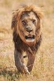Härligt lejon som fritt går i den afrikanska savannet arkivbilder