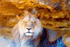 Härligt lejon som vilar i solskenet bakgrund föder upp den steniga stenstrukturen för rocken Arkivfoto
