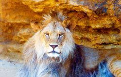 Härligt lejon som vilar i solskenet bakgrund föder upp den steniga stenstrukturen för rocken Royaltyfri Fotografi