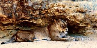 Härligt lejon som vilar i solskenet bakgrund föder upp den steniga stenstrukturen för rocken Arkivbilder